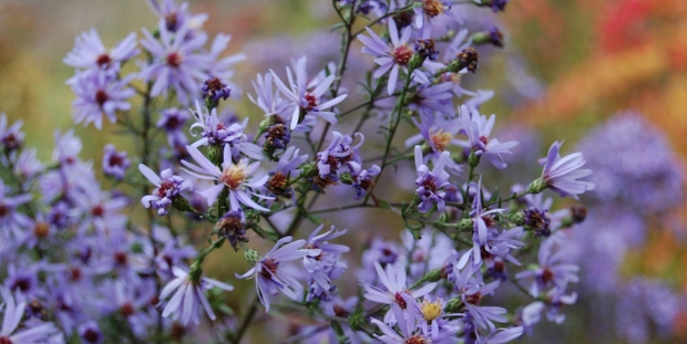 aster cordifolius little carlow banner.png