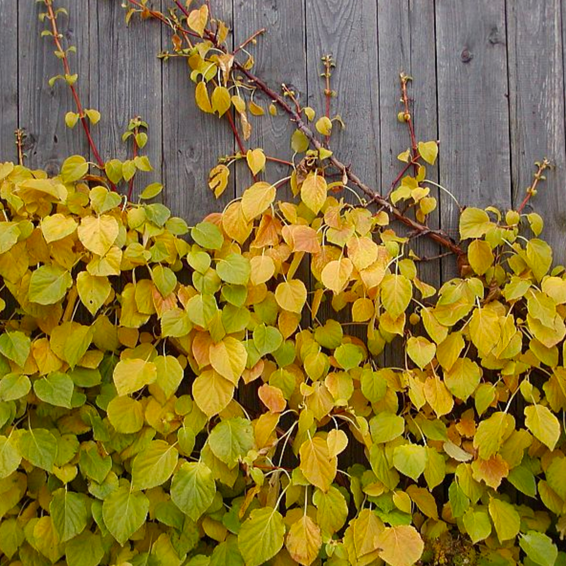 hydrangea petiolaris.jpg